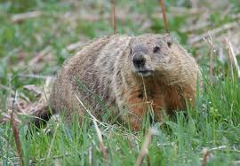 Indianapolis Ground Hog  (Wood Chuck) Removal