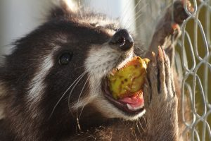 Raccoon Removal and Control 317-257-2290