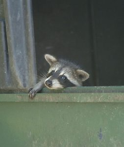 Indianapolis Raccoon Removal 317-257-2290