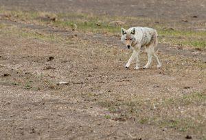 Coyote Control 317-257-2290