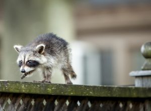 Raccoon Removal Company Indianapolis