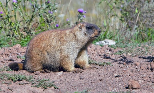 Groundhog Removal and Control 317-257-2290