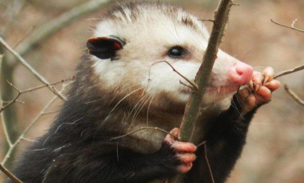 Indianapolis Opossum Removal 317-257-2290