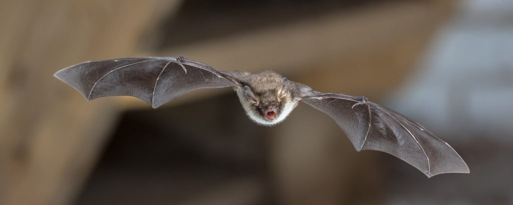 Indianapolis Bat Removal and Control