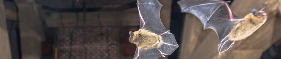 Indianapolis Bat Removal and Control 317-257-2290