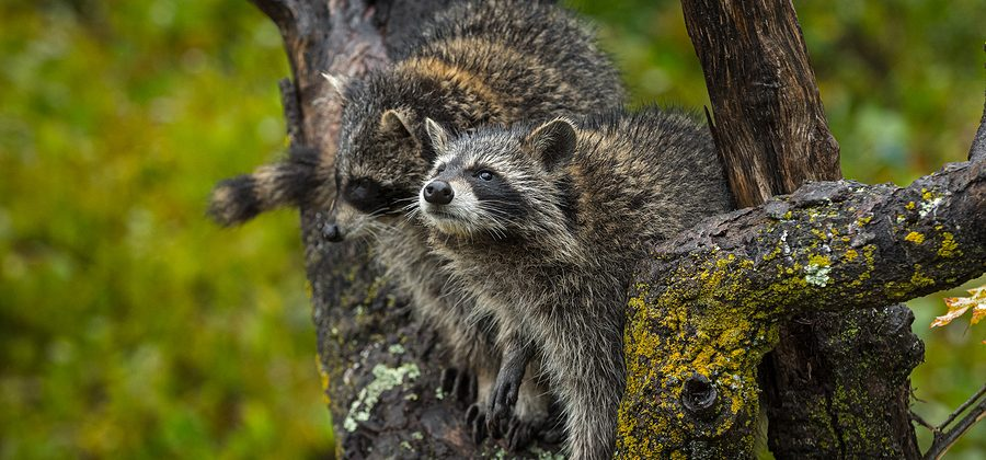 Raccoon Removal Control Louisville Kentucky